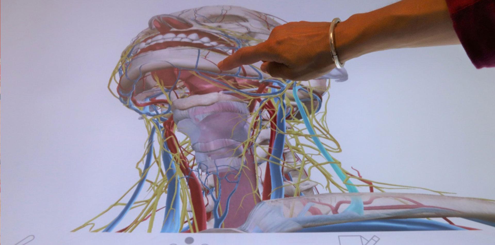 L'anatomie s'explore « grandeur nature » à la BU santé de Caen